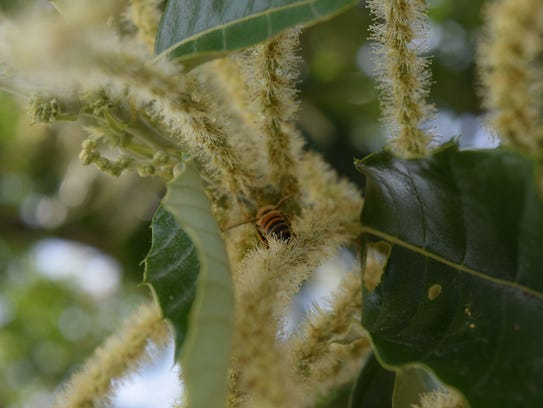 A honeybee is shown foraging on a blooming Chestnut