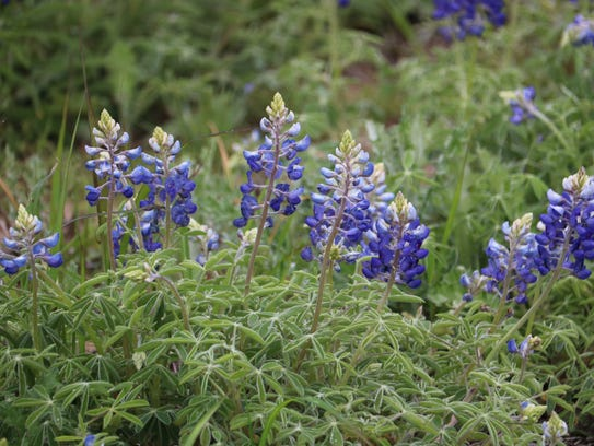 Bluebonnets are a popular sight, spotted all over Texoma. Copper Breaks State Park, near Quanah, Texas, will be hosting a BioBlitz on the weekend of April 20-22.