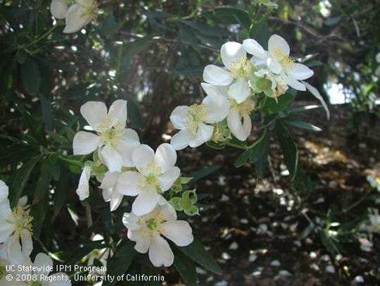 Carpenteria californica can be used in our gardens
