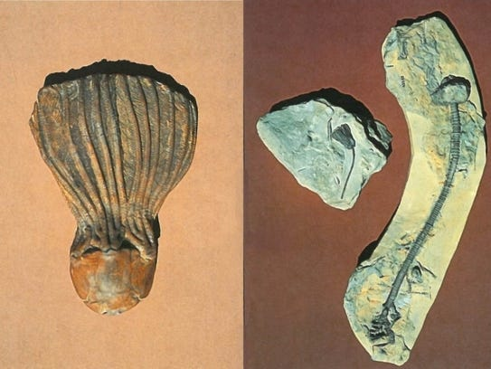 """Often called """"sea lilies,"""" crinoids are actually animals"""