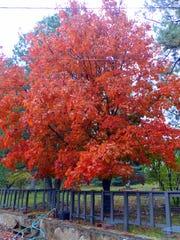 A Ruidoso homeowner's tree turns a rich burnt orange.