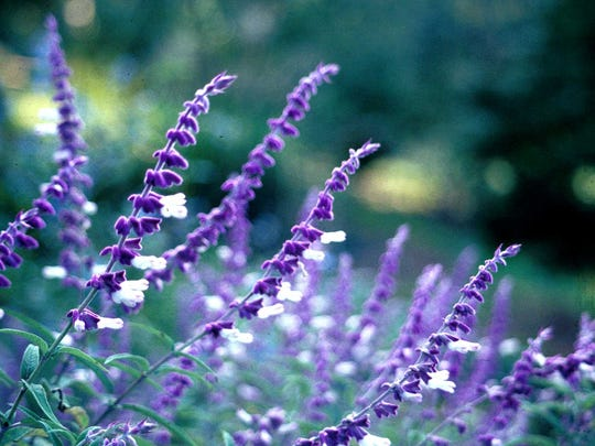 Perennials like salvia provide color and texture all summer long.