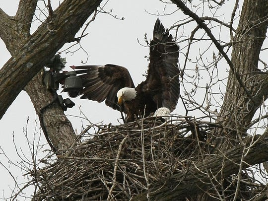The eagles made famous by livestreaming tend to three hatchlings in their nest just south of Decorah in April 2011.