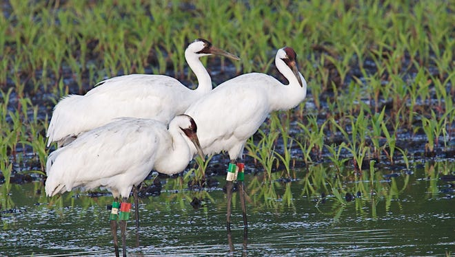Pictured are whooping cranes. Michael John Jaeger, president of the Wisconsin Society for Ornithology, will present a program on the history and future of Wisconsin bird conservation at 7 p.m. on Thursday, Dec. 21.