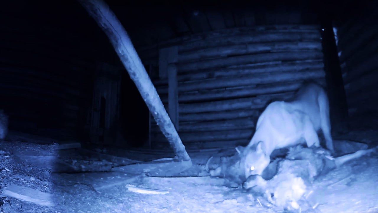 First-ever look at a mountain lion feasting in VR