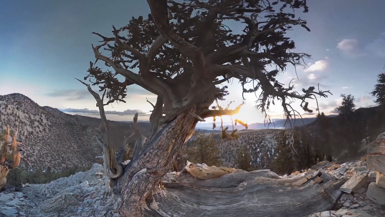 Explore the world's oldest trees in 360