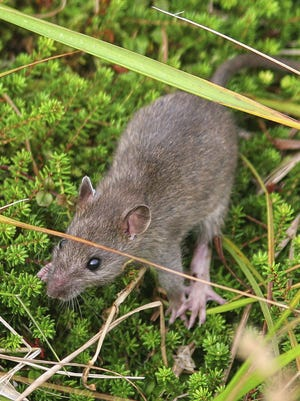 This undated photo provided by the U.S. Fish and Wildlife Service shows a rat on the tundra on the Alaska Aleutian Island of Adak.