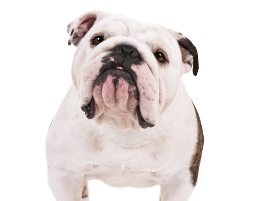 Look at that cute, squishy face! The Bulldog is among