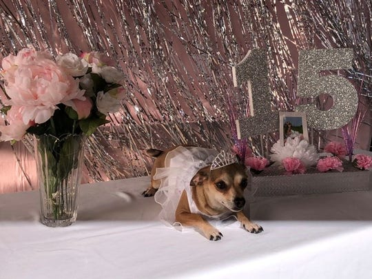 Lupita, a two-year-old Chihuahua, enjoys her quinceañera.