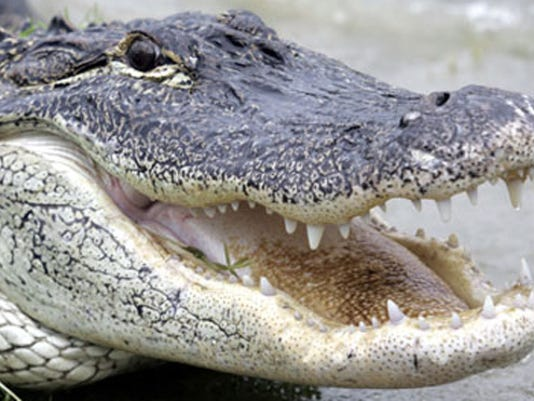 alligator_ap.jpg