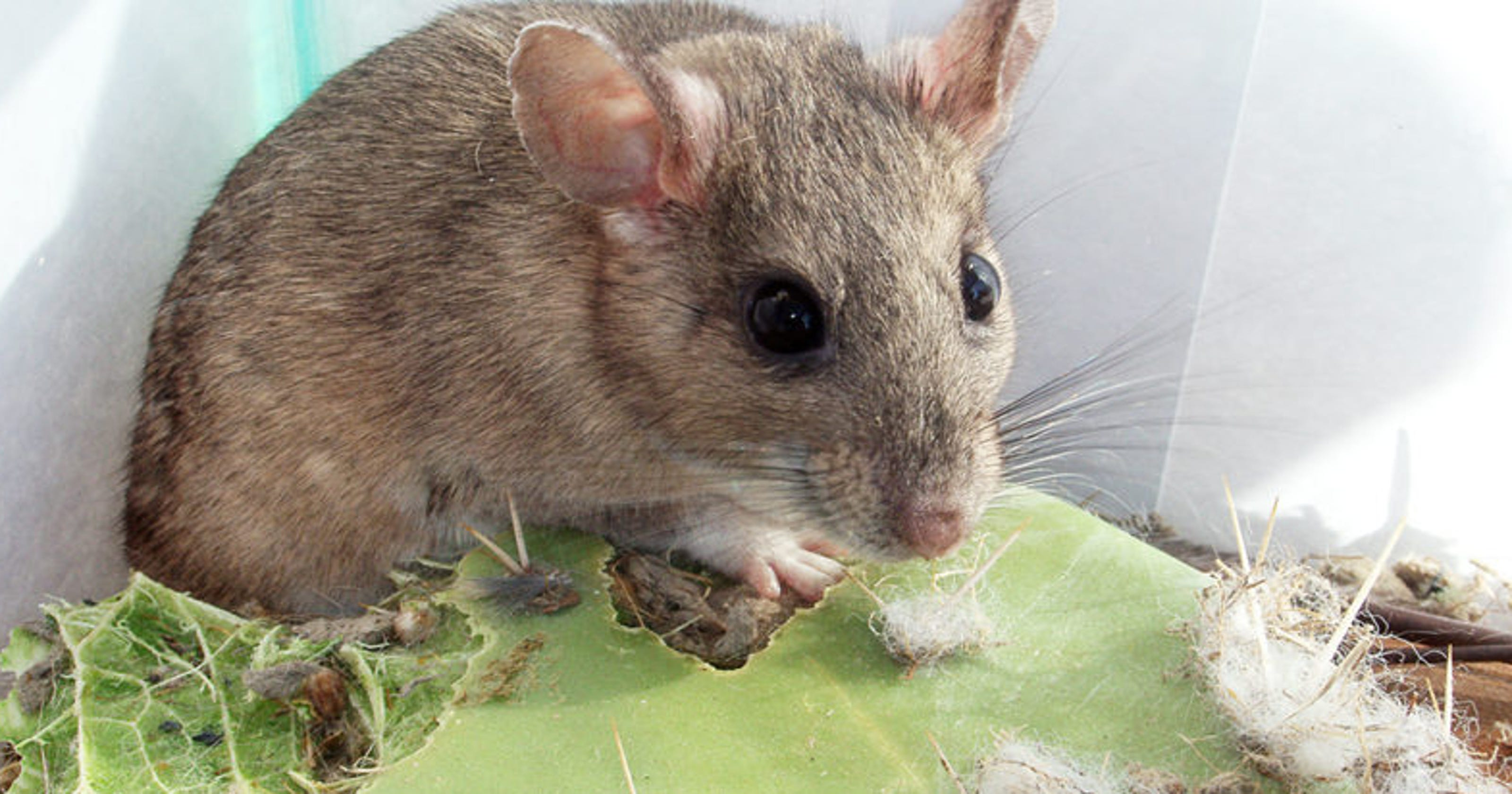 They may be cute, but these Southwestern rats pack an