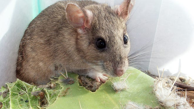 The scientifically named Neotoma albigula is more commonly known as the white-throated wood rat. It nibbles away, blissfully unaware of his impending fate.