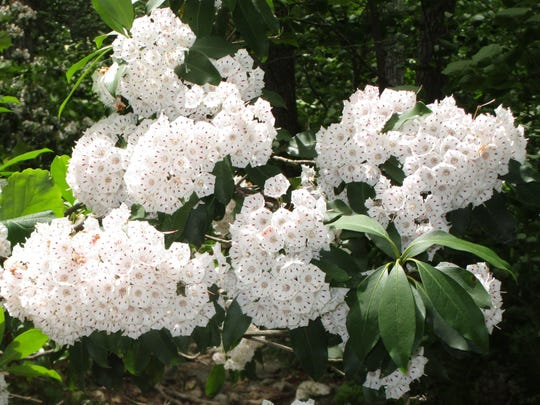 Mountain laurel blooms along the trail.