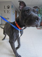 Tebow, a 1 1/2 year-old pit bull from the Richland