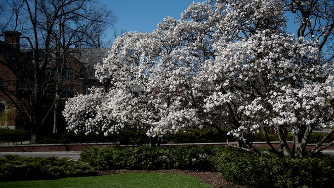 Trees show off white blooms in front of the Alice B. Cowles House on Friday, April 30, 2018, on the Michigan State University campus in East Lansing.