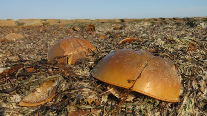 It's not revolting; it's just molting! The large number of horseshoe crab shells at Sea Gull Beach in West Yarmouth is a sign of a growing population.