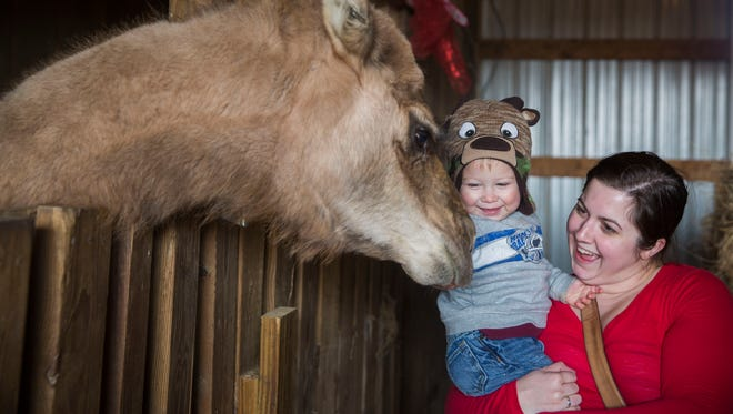 Lyndsey West holds up her son, Hudson, 1, to feed the camel during their time at Christmas on the Farm at Blue Moon Stables in Corydon, Ky., on Saturday afternoon.