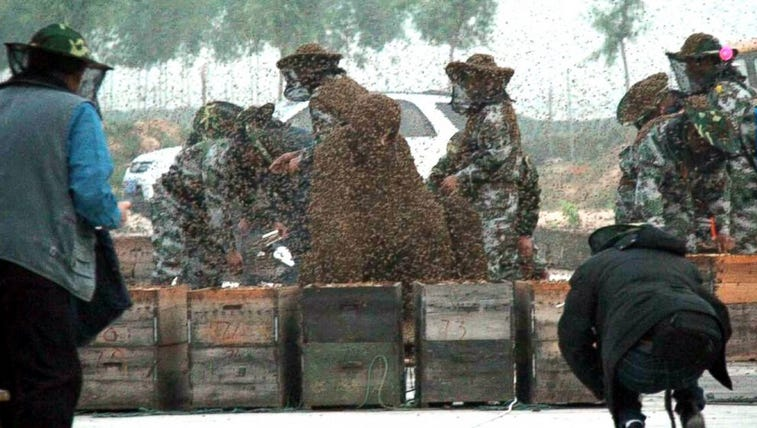 PHOTO: Assistants open boxes to dump bees on the bee-covered