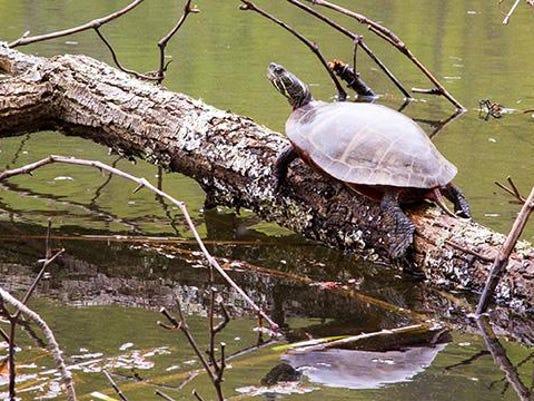 Eastern Painted Turtle. Photo by John Mizel