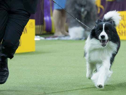 AP WESTMINSTER DOG SHOW S ENT USA NY