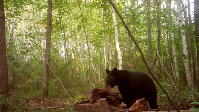 A bear coming into the bait