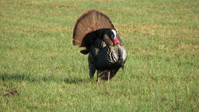 Wild turkeys waddle along Lockheed Martin's test range, west of Brevard County.