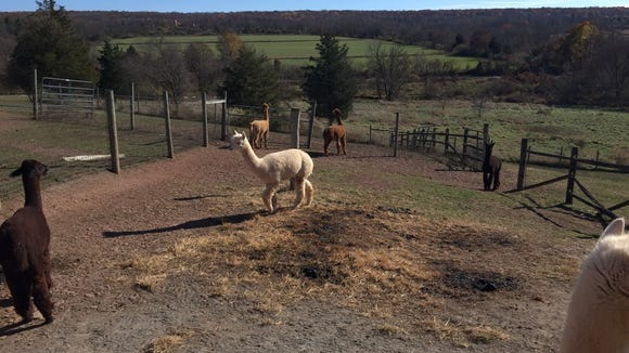 This pen outside the alpaca barn has a panoramic view of the area at Swallow Hill Farm.