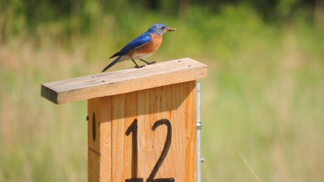 One of the most rewarding outdoor activities you can embark on is creating a bluebird trail on your property. The rewards are endless and the joys of watching bluebirds raise their families right before your eyes, priceless.