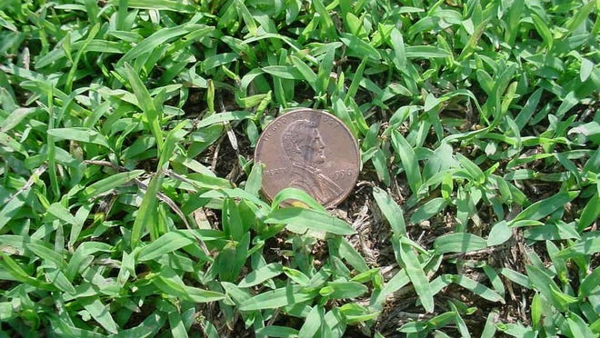 Crabgrass is an annual that germinates from seed each year.