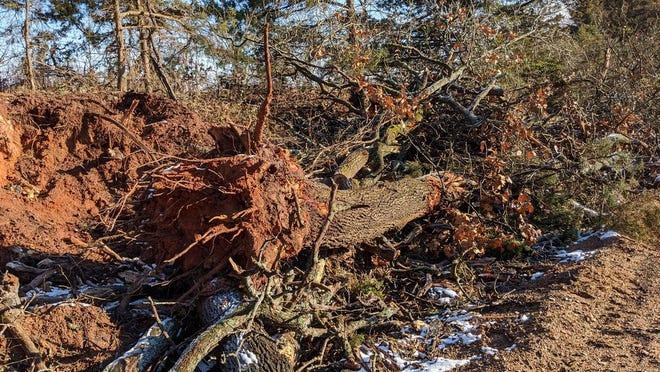 Downed oaks