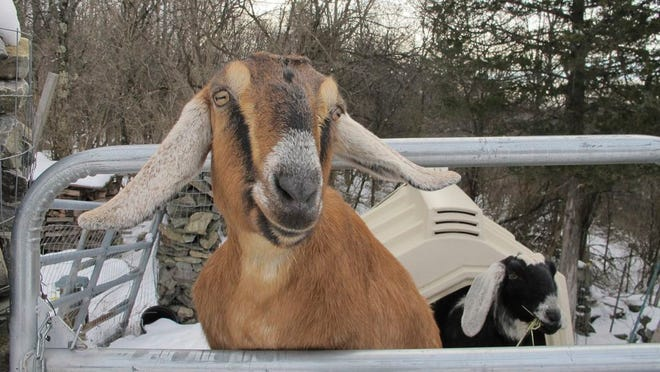In this Jan. 24, 2020 file photo, Lincoln, a Nubian goat, stands in her pen in Fair Haven, Vt. A goat and a dog who were each elected mayor of a Vermont town have helped raise money to renovate a community playground. The Fair Haven town manager came up with the oddball idea of pet mayor elections to raise money and to help get local kids civically involved.