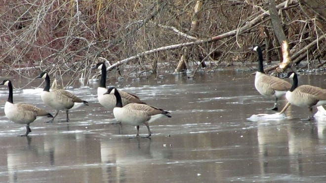 Geese walk along the frozen Charles River.