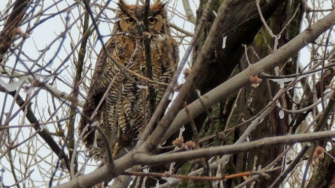 Great horned owls, as well as a few other birds of prey, have already begun preparing to nest across our area. These birds begin egg laying in winter due to the long flightless period of the young before they fledge.