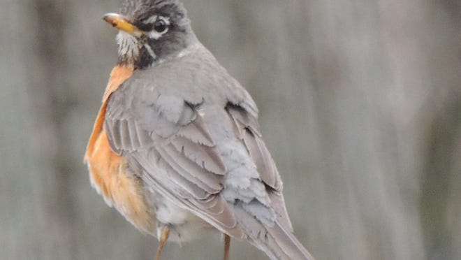 Robins are still in the area, flocking together in areas rich in berry-producing trees and shrubs. If you've got these types of trees in your neighborhood or woodlot, watch for feeding flocks to move in.