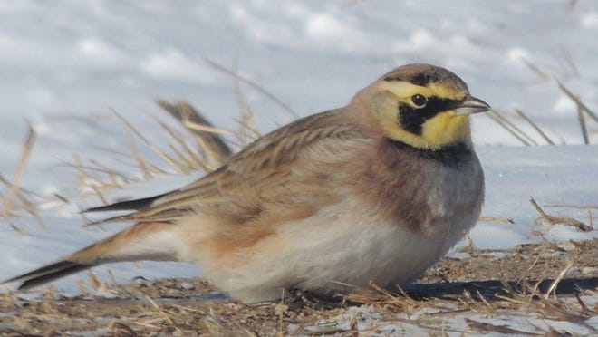 """The male horned lark is a beautiful, sparrow-sized bird with a black face mask and cheek over a bright, lemon yellow face. Two tiny black """"horns"""" or spikes rise above the eyes, giving the bird its name."""