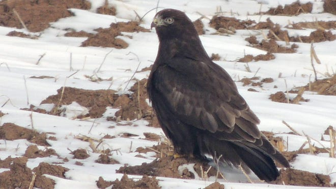 A dark phase rough-legged hawk hunts rodents in a snow-dusted farmfield in Manitowoc County. Rough-legged hawks come in two color phases, a light phase and a dark phase.