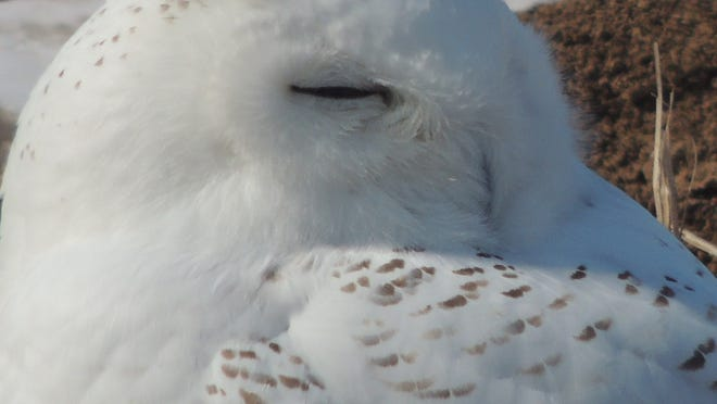 Snowy owls are about ready to leave for their Arctic breeding grounds just as the first migrating waterfowl of spring begin to wing north.