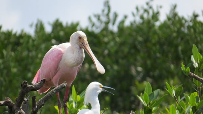 Wildlife including this roseate spoonbill was observed along the way.
