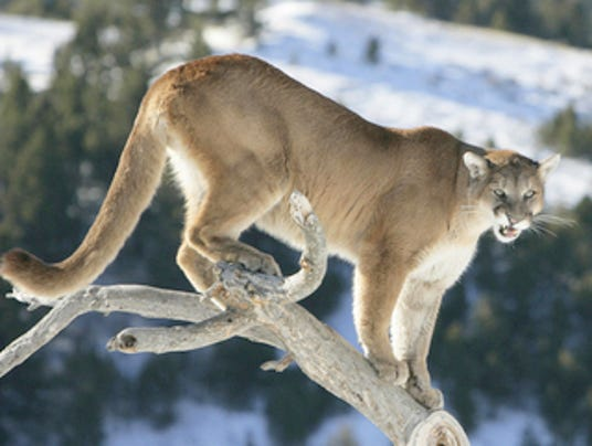 636131857003923139-1028mountainlion.jpg
