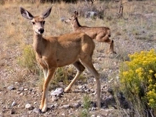 Mule-ear deer browse the dry grasslands between the