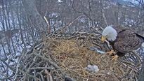 Congratulations are in order-- the Hanover eagles are parents once again.