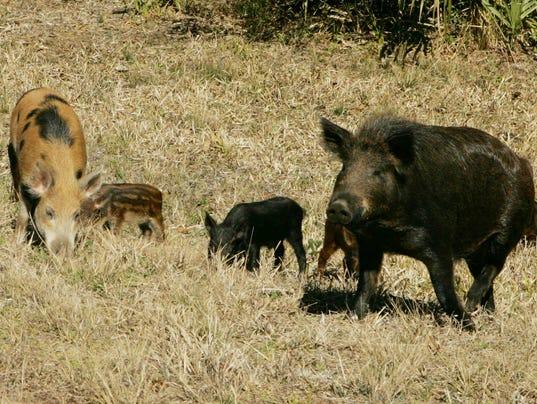 R Hogs Wild hogs in Mi...