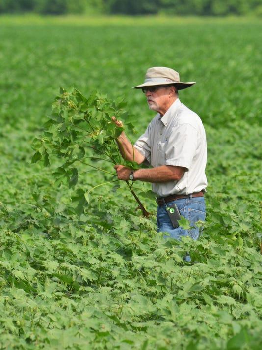 636035034160948070-Dan-Fromme-checking-cotton-plantjpg.jpg