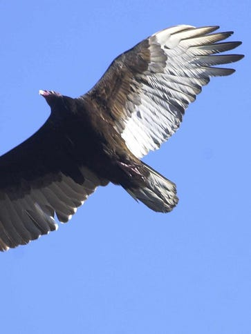Most of a turkey vulture's feathers might range from