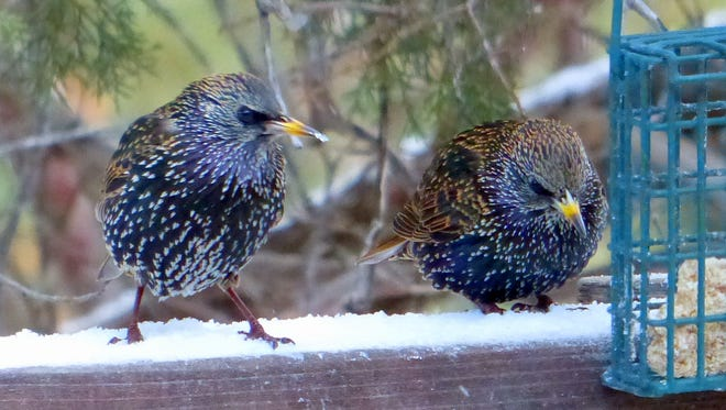 Disturbingly human in their expressions, this starling wife seems to berate her husband for some transgression.