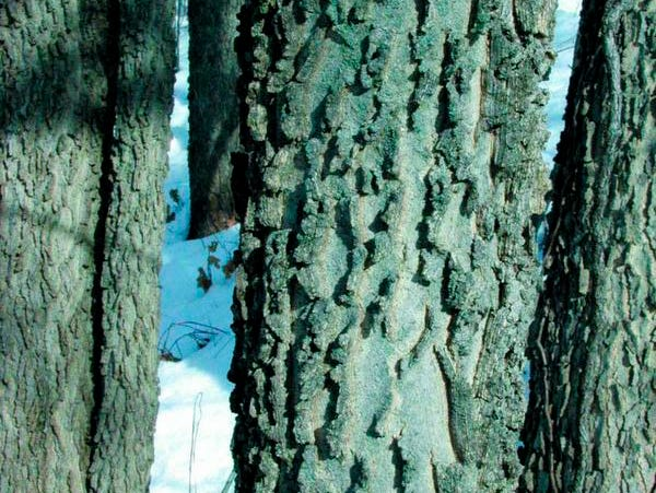 The corky ridges of the hackberry's bark have a subtle beauty, with crisp areas of light.