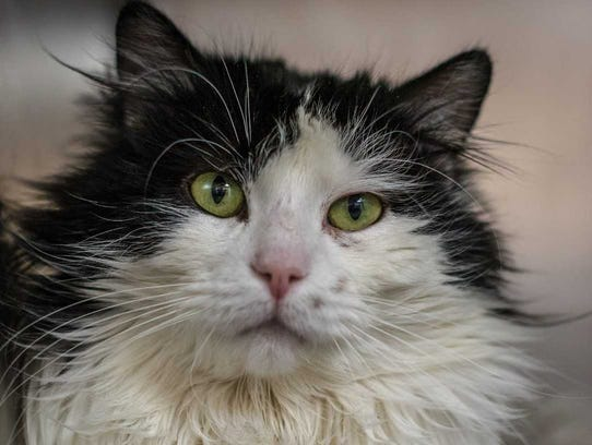 David - Male (neutered) domestic long hair, about 4