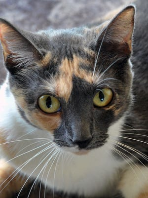 Dot is a 3-year-old female, calico, domestic short-haired cat. She has been spayed, vaccinated and microchipped. Dot is laid back, a little shy and available for adoption at the Wichita County Humane Society.