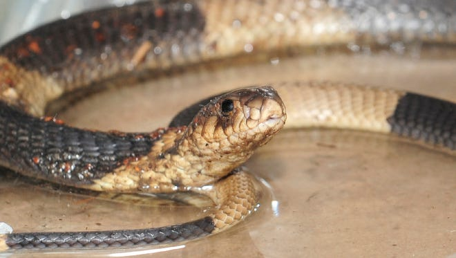 File picture - An Egyptian Cobra is seen at the Bronz Zooís Reptile House, Thursday, March 31, 2011, in New York.