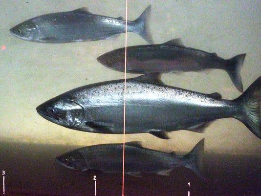 635980341133432936-Dying-Salmon-Davi.jpg